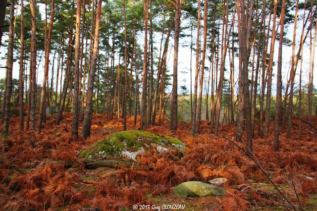 Pinède en forêt de fontainebleau