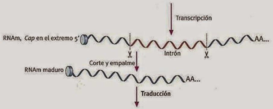 Somatostatina e insulina, las primeras proteínas obtenidas