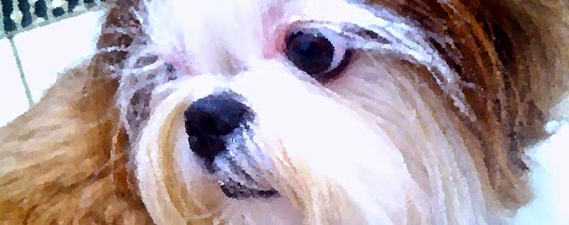 Cão adulto da raça Shih Tzu
