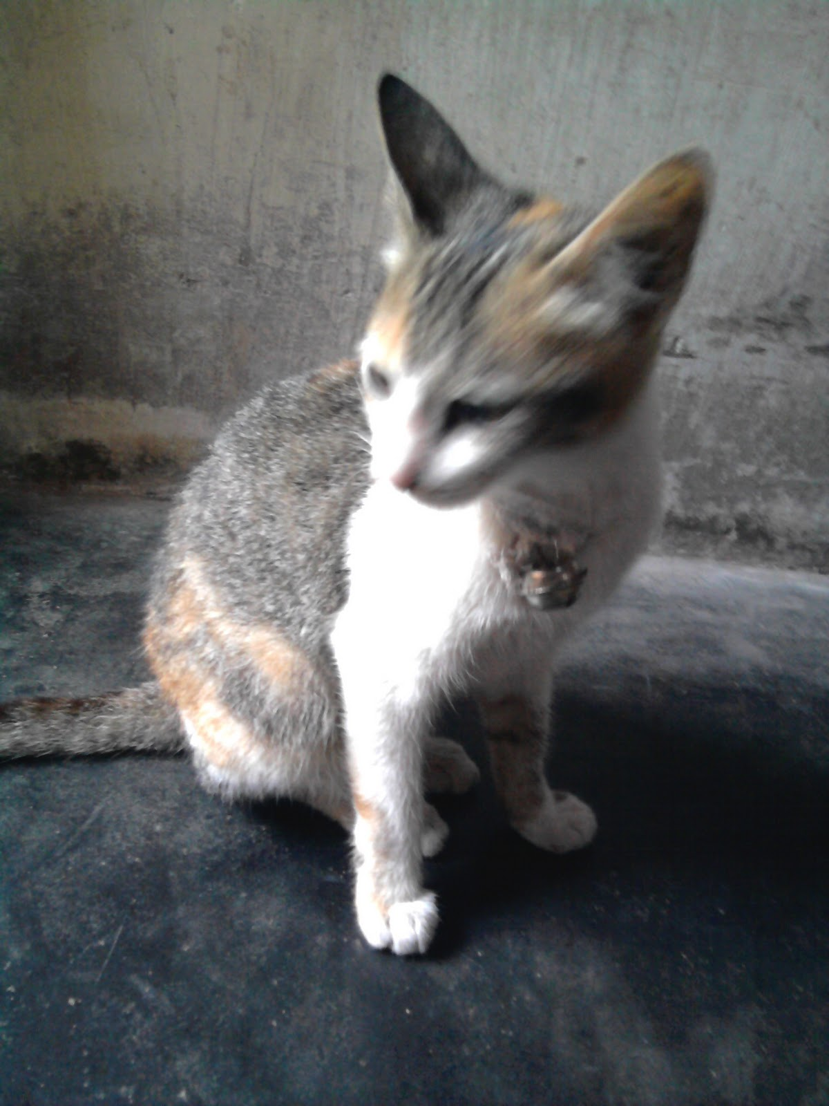 Kucing Kampung