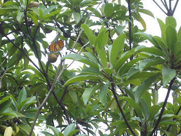Living amidst Butterflies in Ovalekar Wadi.Naturalists Paradise in Mumbai.