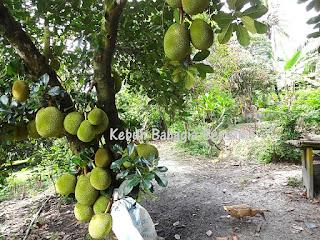 http://tipspetani.blogspot.com/2015/07/syarat-tumbuh-tanaman-nangka.html