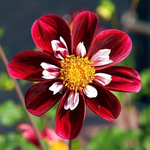 Dahlia Flower Information to Use Dahlia Flowers For