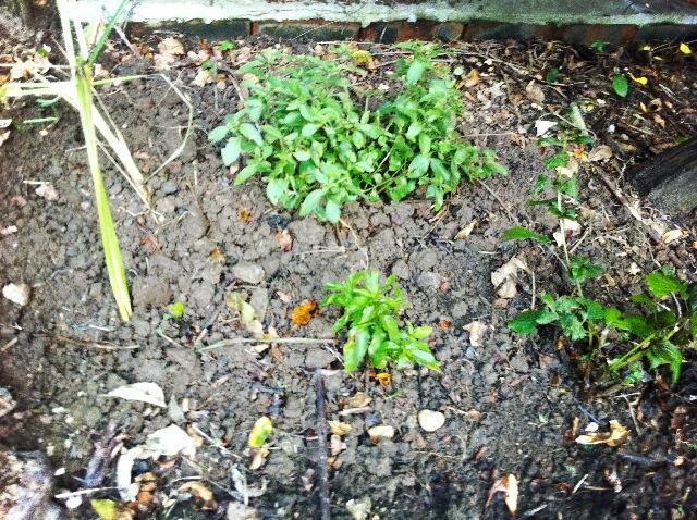 我的香草花園 herb garden