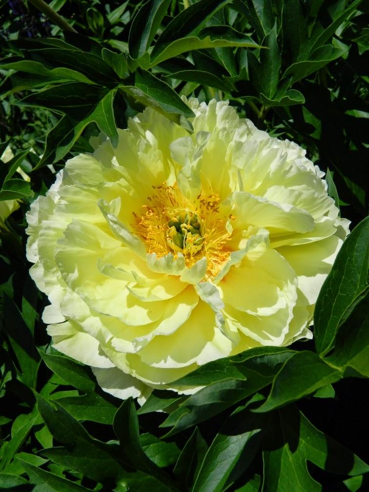 Paeonia Bartzella Itoh Peony Toronto Botanical Garden by garden muses-not another Toronto gardening blog