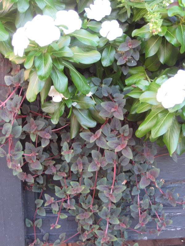 the rose colored stems and new growth give this plant title=