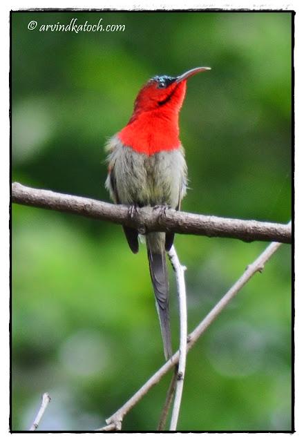 Crimson Sunbird, Sunbird