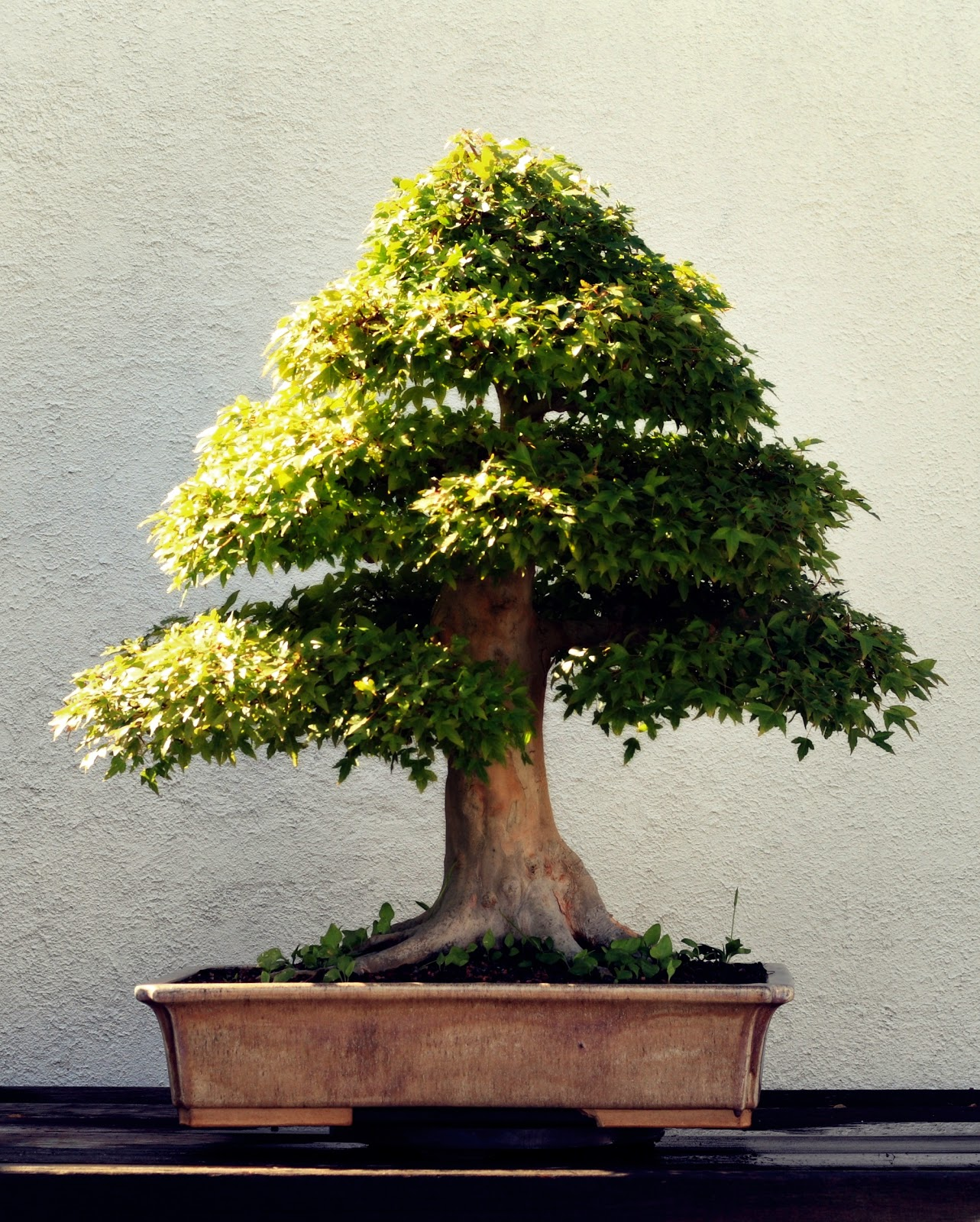 What Is Bonsai Tree