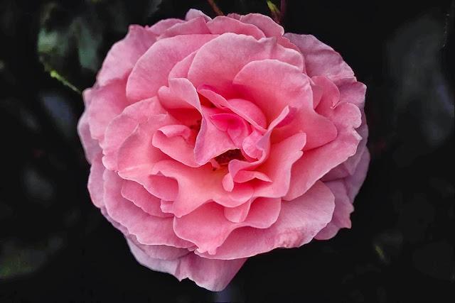 Beautiful Pink Rose Wallpapers Free Download
