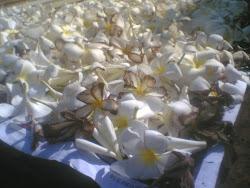 Bunga Kamboja Kering