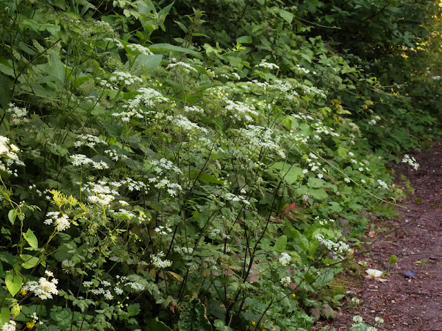 Hedge parsley growing alongside path on western edge of Todd's Pit
