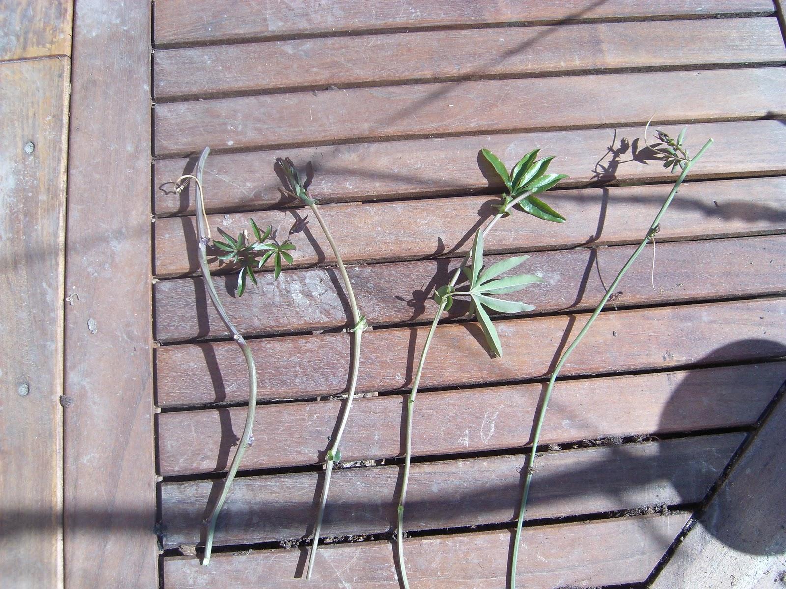 Le jardin de pascaline boutures de passiflore - Les jardins de passiflore ...
