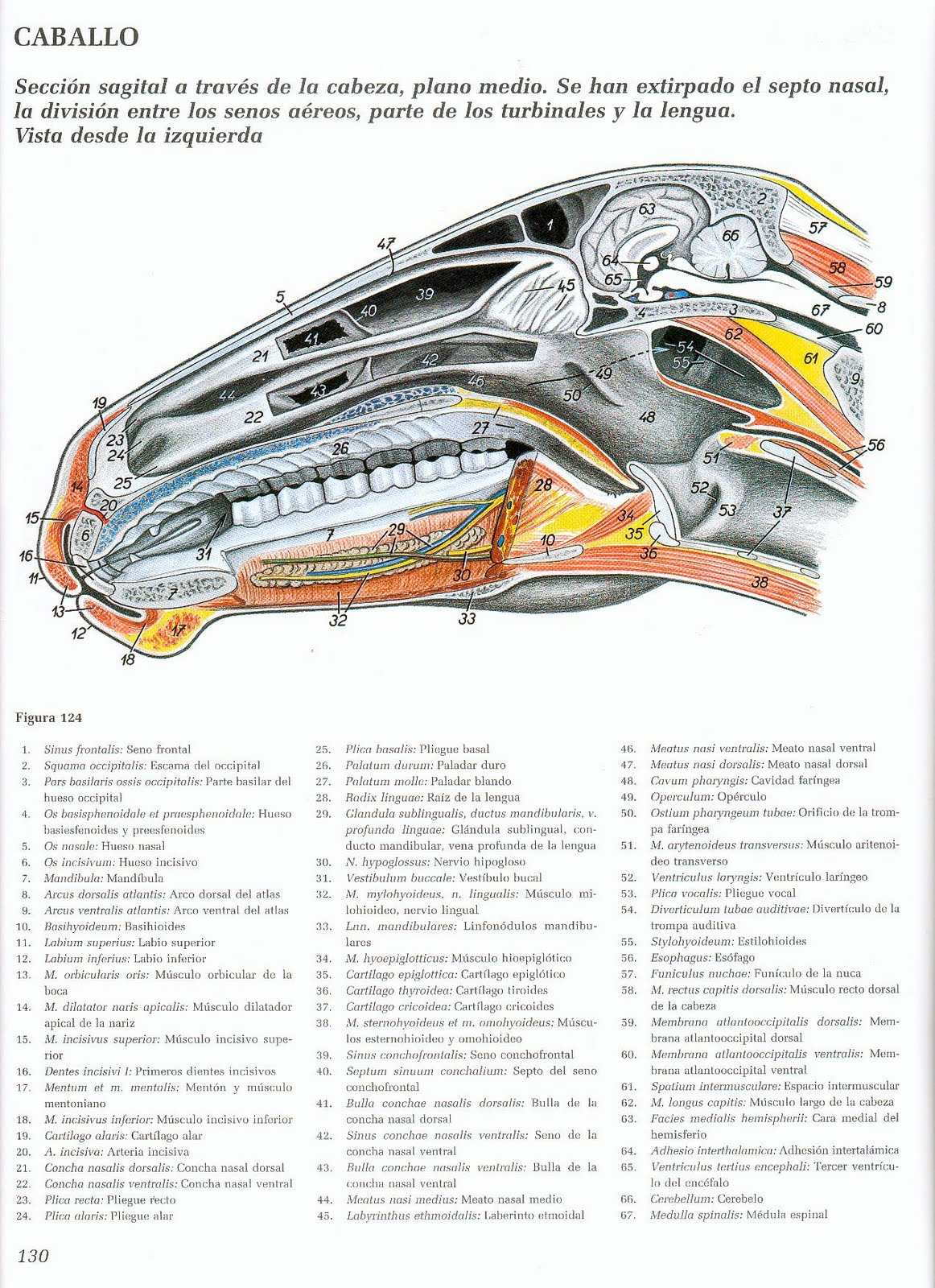 Anatomia veterinaria: material 2011 - Sistema respiratorio Equino