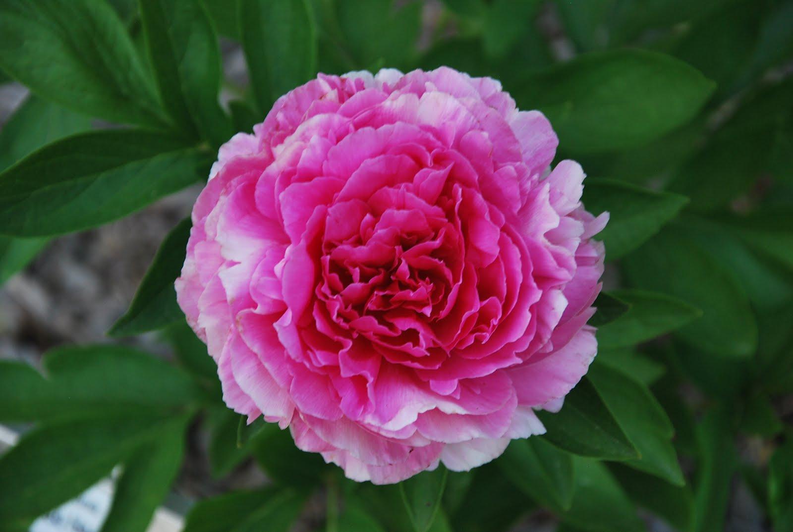 how to grow peony roses in australia
