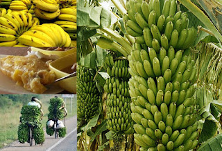 Bananas , Popular Fresh fruits in Uganda. Matoke