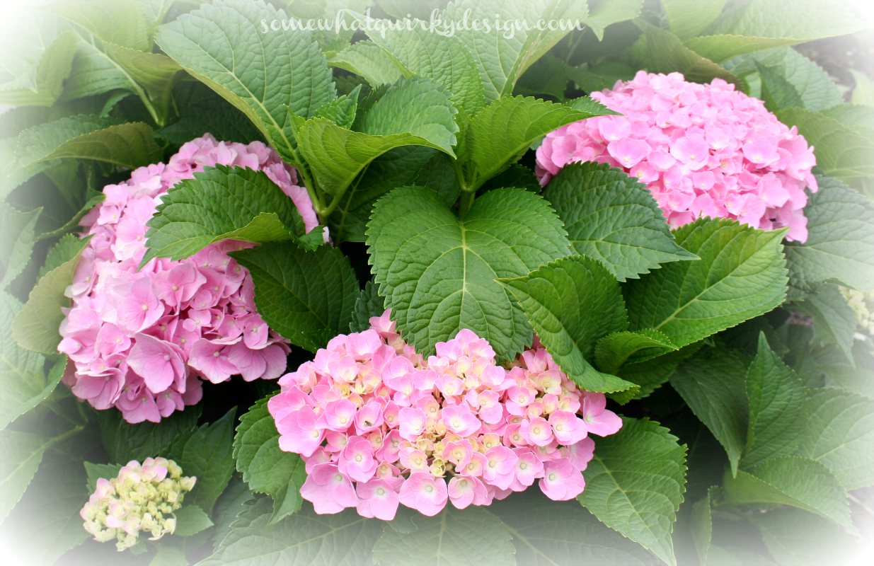 somewhat quirky pruning hydrangeas. Black Bedroom Furniture Sets. Home Design Ideas