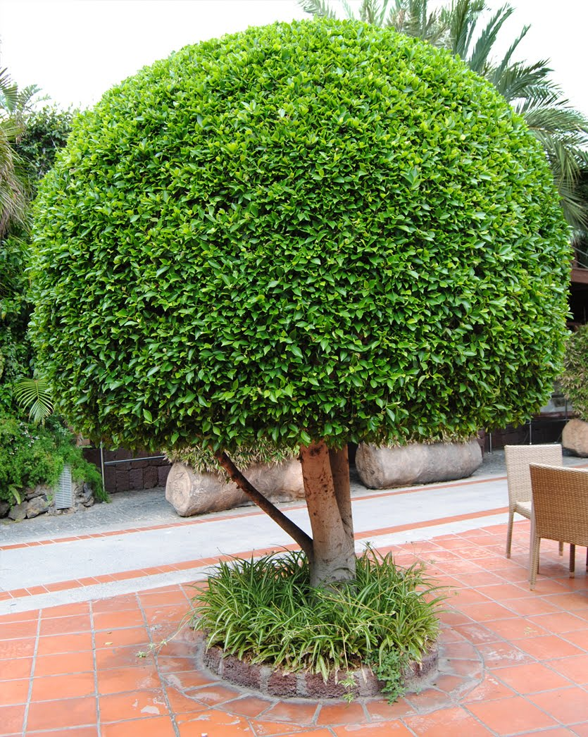 la bolsa gris ficus microcarpa 5 moraceae. Black Bedroom Furniture Sets. Home Design Ideas
