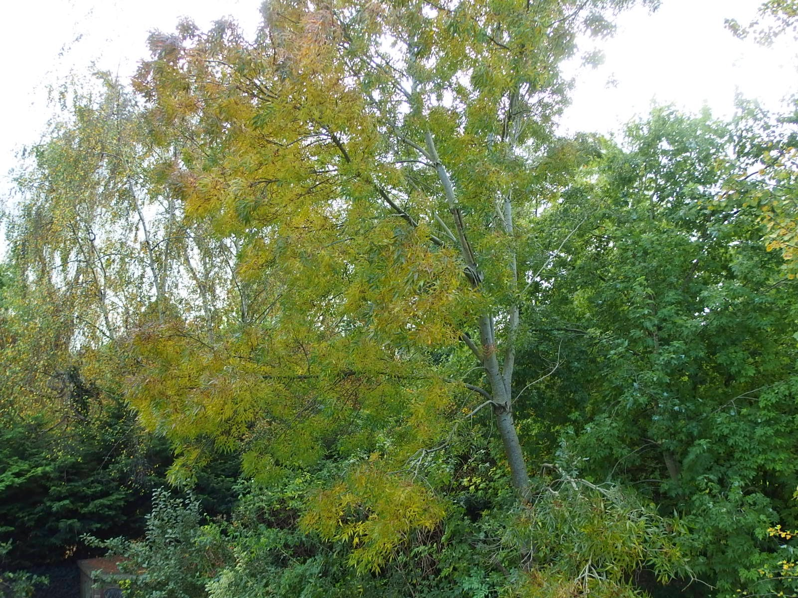 Photo of ash tree beginning to turn autumnal October 2014
