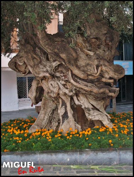 Olivo-de-Cort-Mallorca
