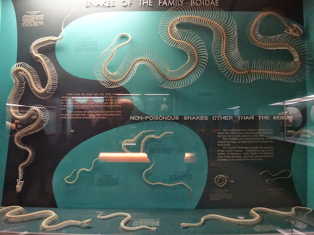 Snakes skeleton at National History Museum in Washington DC, USA