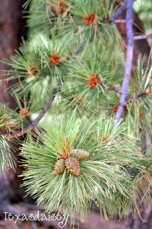A Close up pic of a pine tree near Angel Fire New Mexico