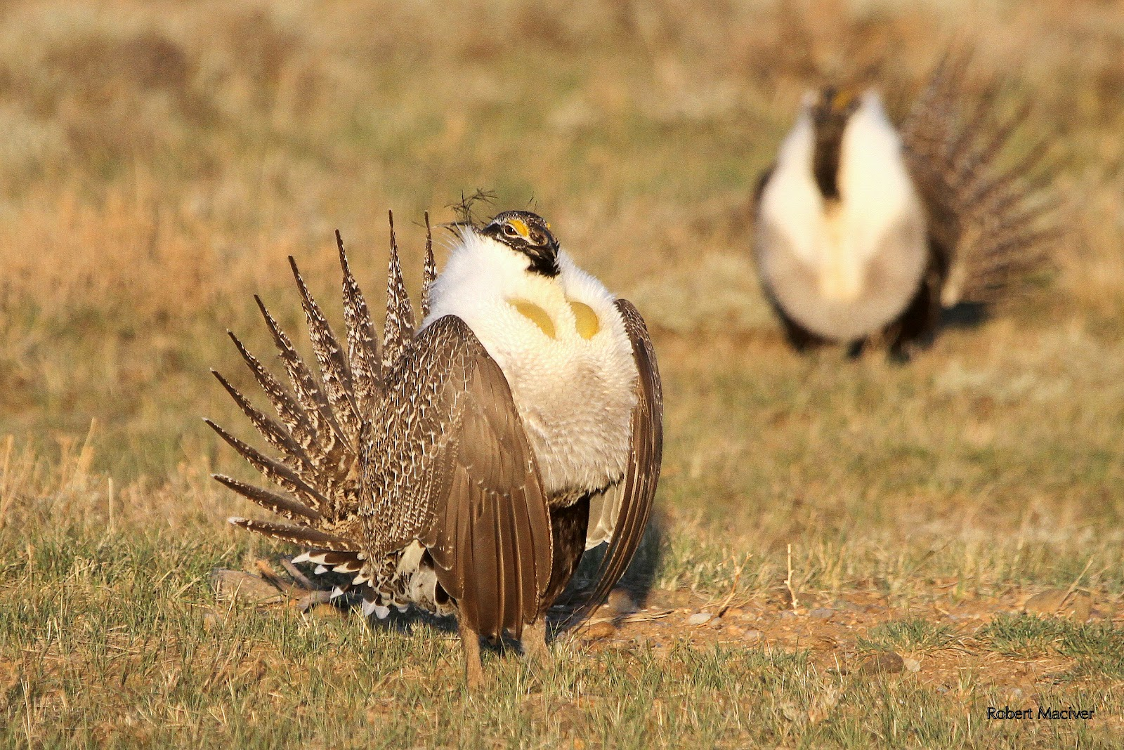 how to clean a sage grouse