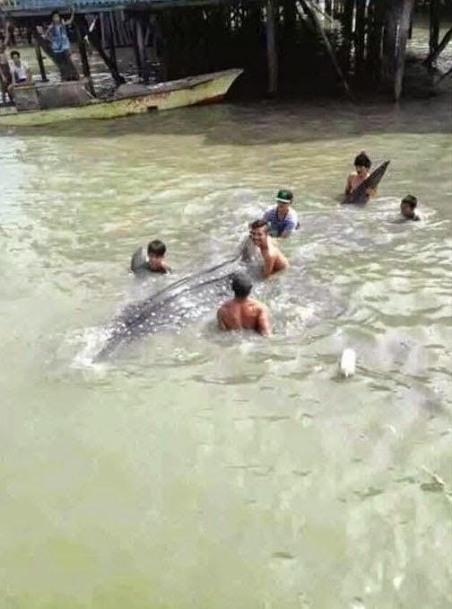Ikan Paus Di Kampung Pukat Tanjung Batu Laut Tawau