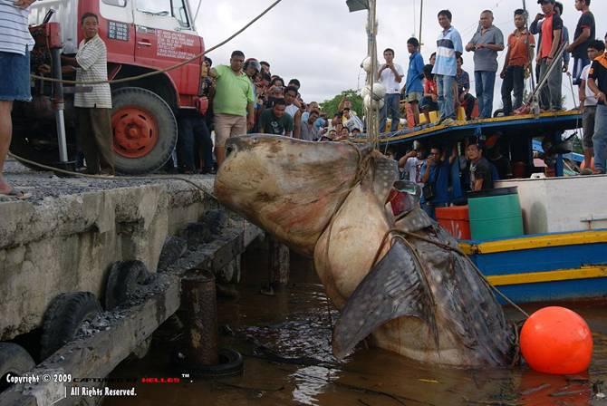 Mukah Malaysia  City new picture : Ceciter Ceciter: Ikan Keli Terbesar di Dunia di Mukah, Sarawak