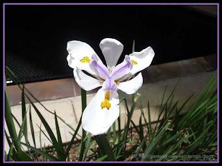 unidentified flower in Las Vegas
