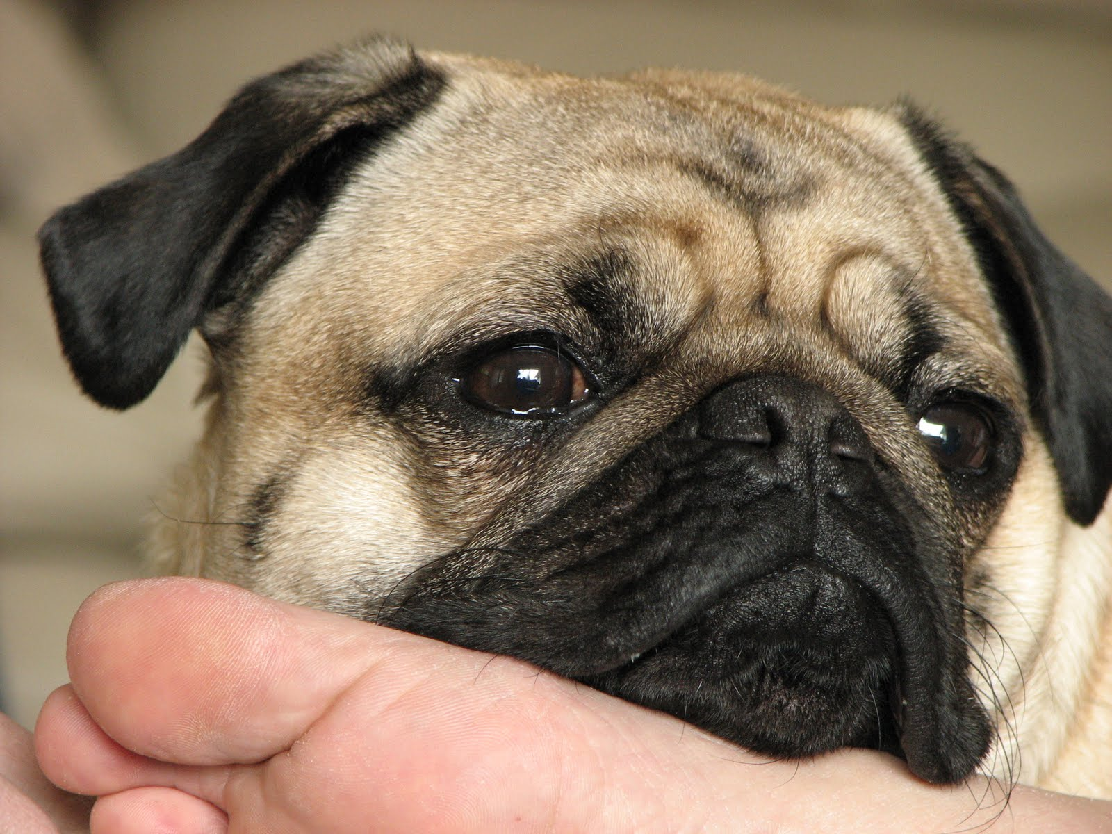 pug dog puppy photo gallery pug dog puppy pictures