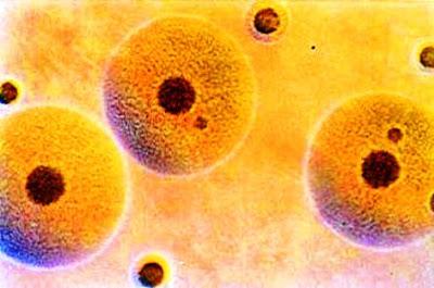 micoplasma Mycoplasma