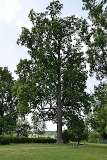 Poplar Forest tree