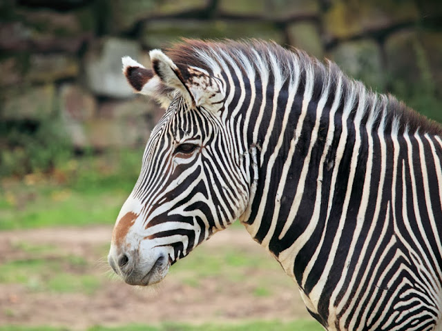 "<img src=""http://4.bp.blogspot.com/-5mVhhWdYd-k/UrGm8GrmXsI/AAAAAAAAF8U/X_WH8xRBcp4/s1600/lkk.jpeg"" alt=""Zebra Animal wallpapers"" />"