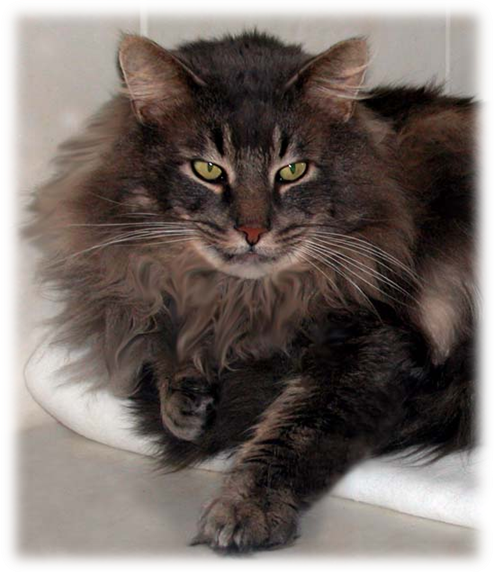 Norwegian Forest Cats For Sale Qld