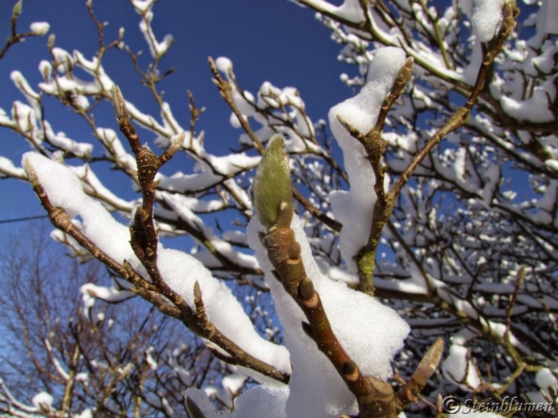 Magnolie im schnee
