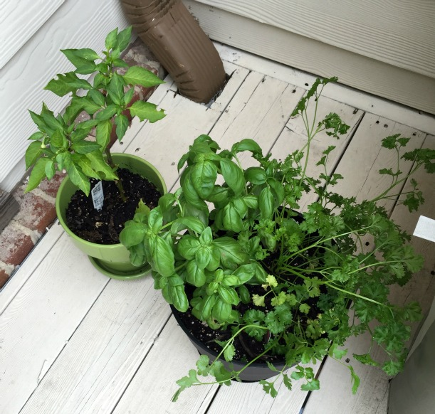 basil, parsley, cilantro, and pepper flower pots
