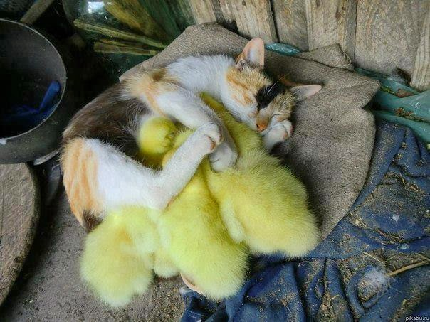 Funny animals of the week - 7 March 2014 (40 pics), baby chicks cuddle with cat