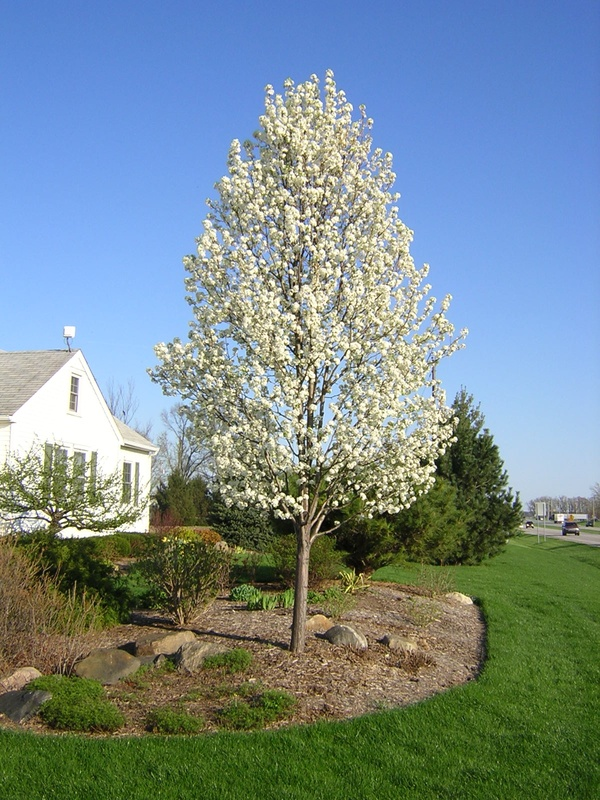 Landscaping With Pear Trees : The white shed tree lined driveway