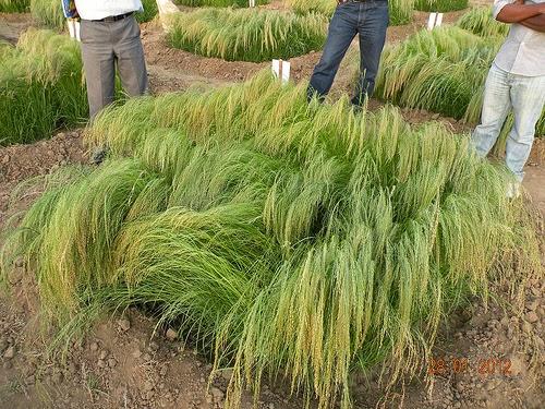 Teff Grass also known as lovegrass by International Potash Institute