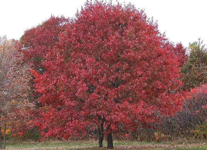 Red Oak Tree ~ Trees planet quercus rubra red oak