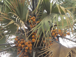 Coconut Palm, Warrap