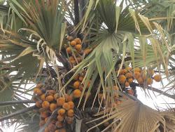 Coconut Palm, Warrap