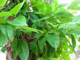 daun salam untuk asam urat