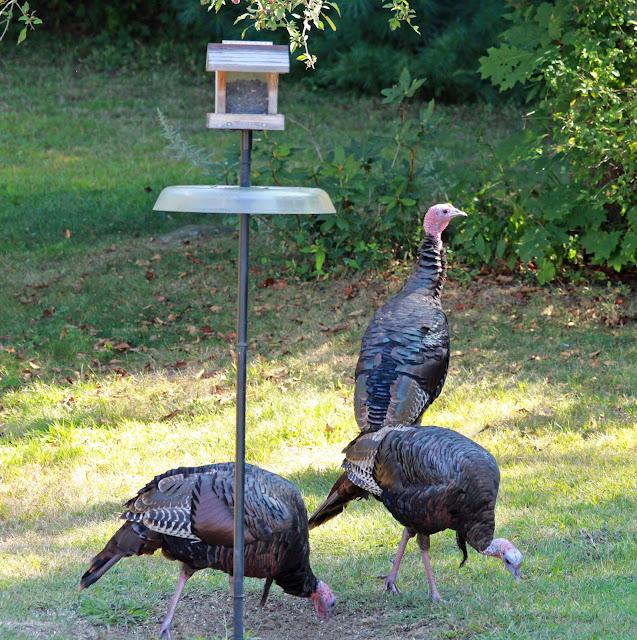 turkeys under feeder