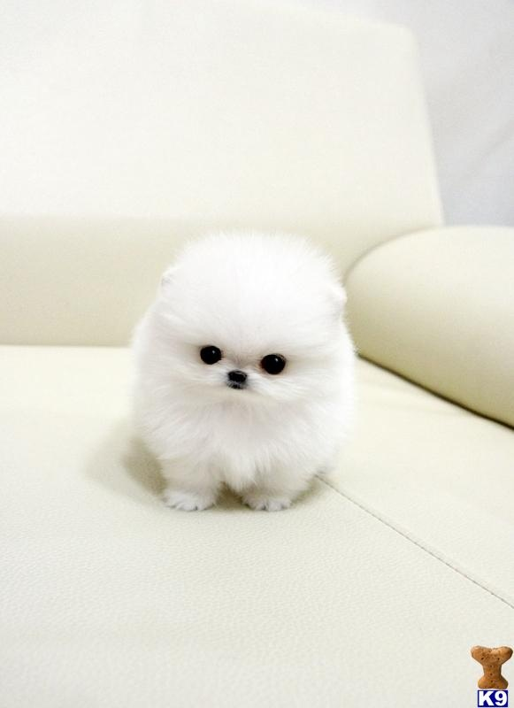 Jeannie's Obsessions: Micro Teacup Pomeranian