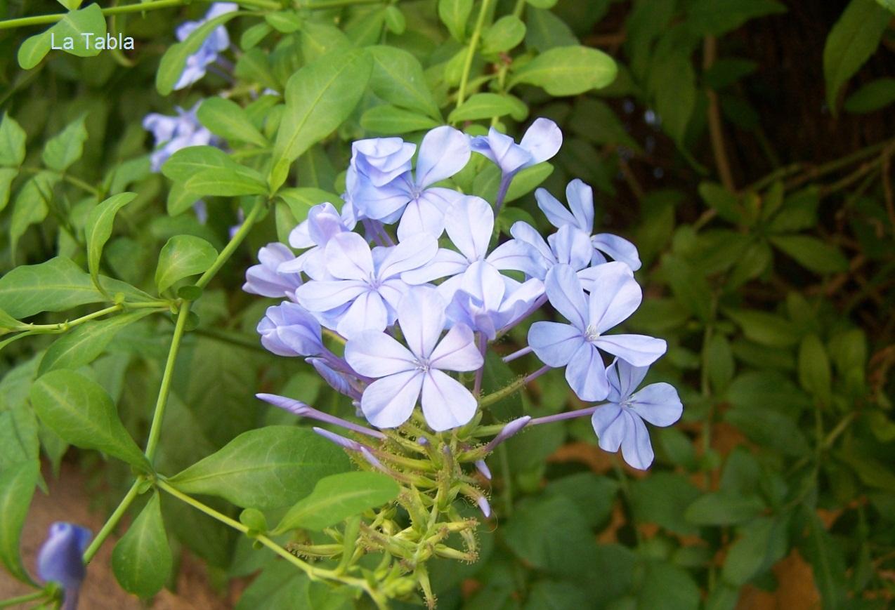 Flores azules como el cielo celestina Plantas jardin mediterraneo