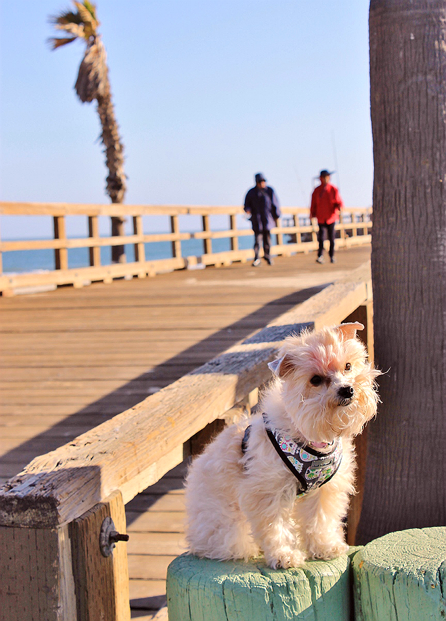 morkie on the SoCal Mandalay pier