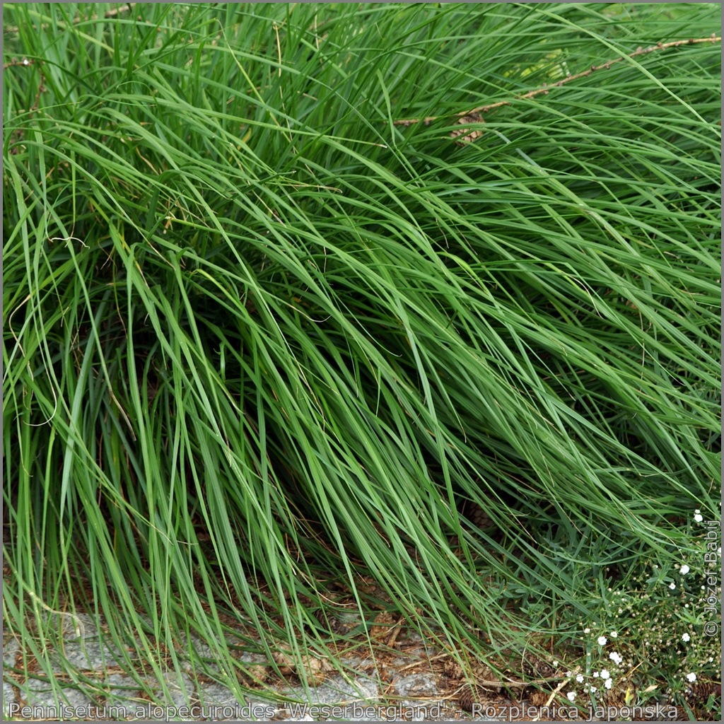 Pennisetum alopecuroides 'Weserbergland' - Rozplenica japońska 'Weserbergland'