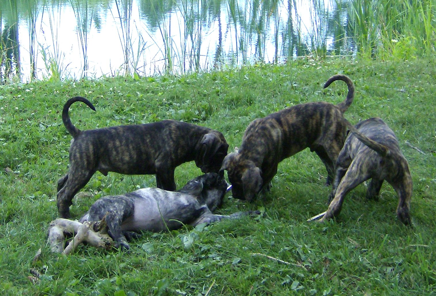 Are Presa Canario puppies right for your family ?