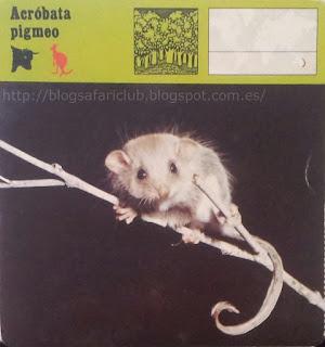 Blog Safari club, El Acróbata pigmeo, no escasea, pero hay pocas ocasiones de verle